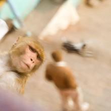Monkey, Varanasi, India