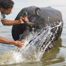 Washing buffalo, Varanasi, India