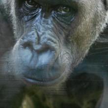 Gorilla Zaire, London Zoo